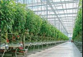 تولید محصولات گلخانه ای در استان زنجان به ۱۴ هزار تن می رسد