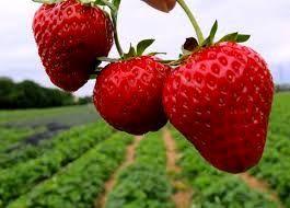 مرودشت تنها تولید کننده نشاء توت فرنگی در فارس