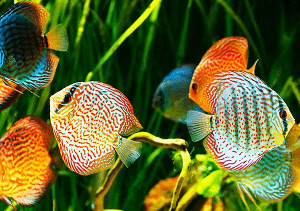 تقویت صنعت ماهیان زینتی، فرصتی ناب برای ارزآوری