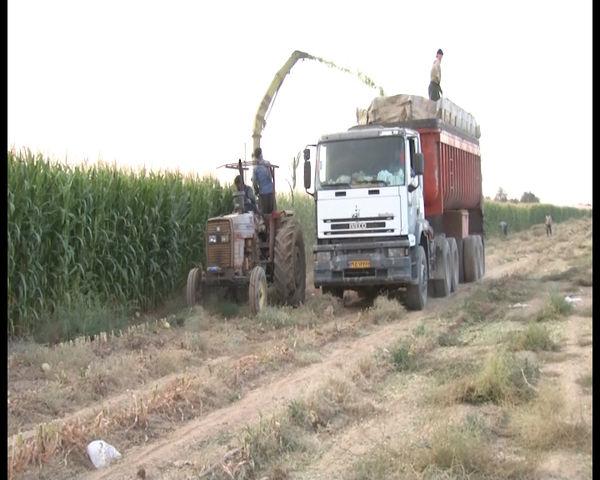 برداشت ۳۰ هزار تن ذرت علوفهای از مزارع میمه