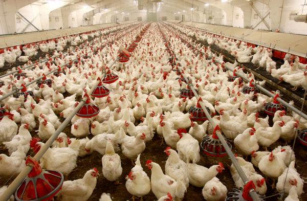 افزایش 33 درصدی تولید گوشت مرغ در خوزستان