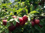 شهرستان ویژه مراغه، رتبه نخست استانی در تولید گوجه را به خود اختصاص داده است
