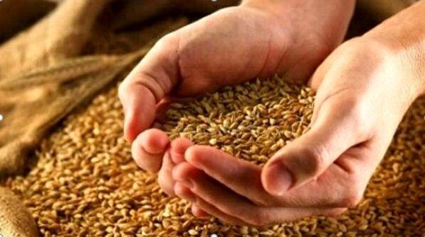 توزیع ۲۵۰ تن بذر گندم و جو اصلاحشده بین کشاورزان جاجرمی