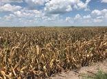 خشکسالی خطر آفلاتوکسین را افزایش میدهد