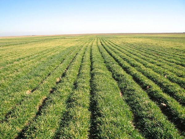 52 هزار هکتار از اراضی کشاورزی آوج به زیر کشت غلات رفته است