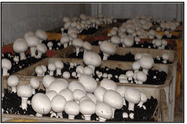 تولید سالانه ۱۵۰ تن قارچ در سربیشه