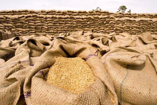 کشت ۲۸ رقم گندم بذری آبی و دیم و ۱۷ رقم جو آبی و دیم در استان لرستان