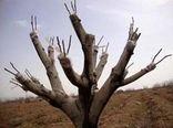 سرشاخه کاری درختان گردو برای اقتصادی کردن باغ ها در خراسان شمالی
