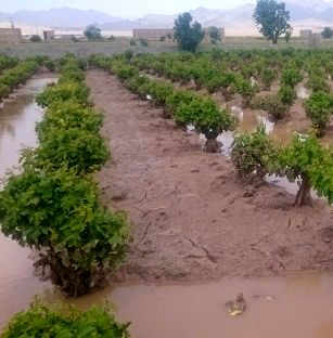 سیل297 میلیارد ریال به بخش کشاورزی  استان قزوین خسارت زد
