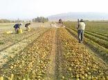 برداشت بیش از ۴۱ هزار تن سیب زمینی از مزارع آذربایجان غربی
