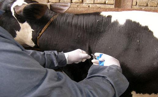 واکسیناسیون دام سنگین در فارس آغاز شد