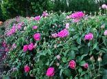 برداشت 350 تنی گل محمدی در خراسان شمالی