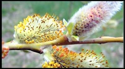 آغاز برداشت گل بیدمشک در مهریز