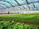 افزایش سطح کشت گلخانهای در شهرستان کاشان به بیش از ۲۷۰ هزار متر