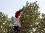زیتون کاری از اصفهان تا خوروبیابانک برای تولید روغن