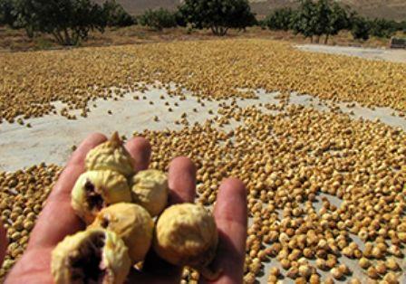 پیش بینی تولید 50 تن انجیر خشک در رستم