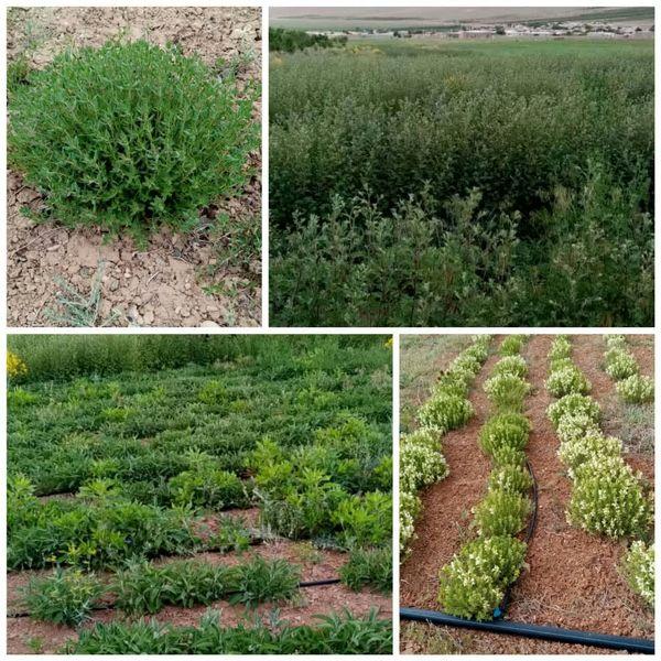 گیاهان دارویی یکی از ظرفیتهای نهفته شهرستان بن است