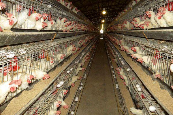 تمامی گوشت مرغ توزیع شده در اصفهان یارانهای است