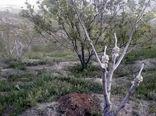 طرح سرشاخه کاری درختان گردو شهرستان کوهرنگ ادامه دارد
