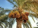 تولید 80 درصد خرمای درجه یک در نخلستانهای خوزستان