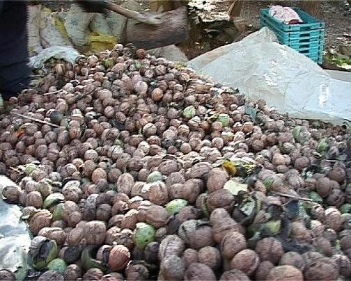 برداشت گردو از سطح هزار و ۲۵۳ هکتار باغ در شیروان آغاز شد