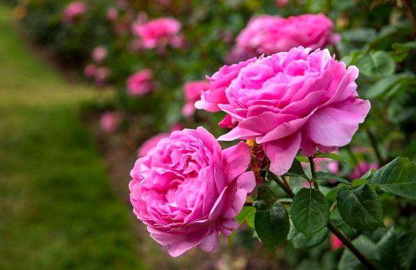 برداشت ۱۶۴ تن گل محمدی تر از گلستان های شهرستان ارومیه