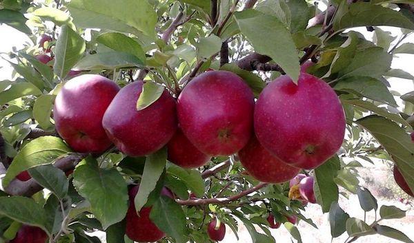 افزیش 60 درصدی تولید سیب درختی در مهاباد