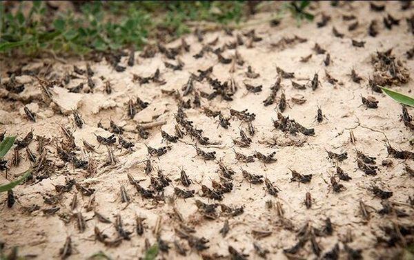 پایش 62 هزار هکتار از نقاط آلوده به ملخ صحرایی در نهبندان