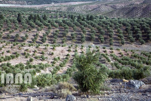 بازدید حجتی از طرح  توسعه باغات زیتون در طارم