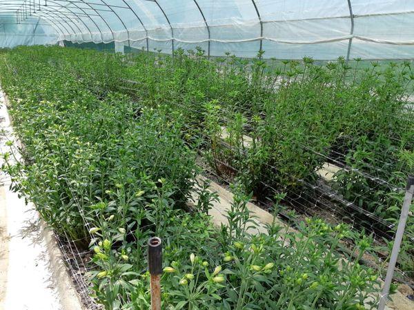 شیوع کرونا 1700میلیارد تومان به صنعت گل و گیاهان زینتی خسارت زد