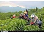پیشبینی تولید 3000 تنی برگ چای در تنکابن