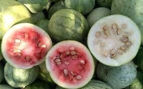 برداشت هندوانه دیم از مزارع کازرون