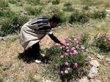 توسعه کشت گیاهان دارویی-کوهرنگ