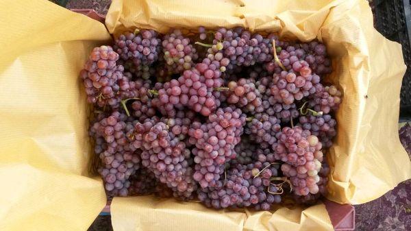 بیش از ۱۹۰۰ تن انگور از باغات جنوب کرمان روانه بازارهای کشور میشود