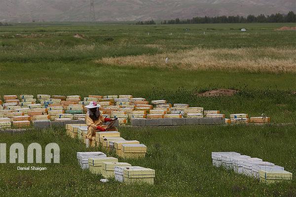 اردبیل در تولید عسل کشور، سوم است