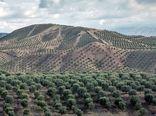 زیتون یک محصول راهبردی در بخش کشاورزی است