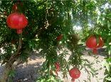 تولید 14 هزار تن انار در بهشهر/ درآمد 430 میلیاردی باغداران