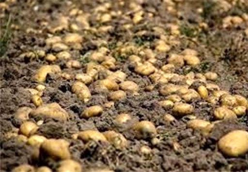 اختصاص حدود 3586 هکتار از مزارع مرکزی اصفهان به کشت سیب زمینی