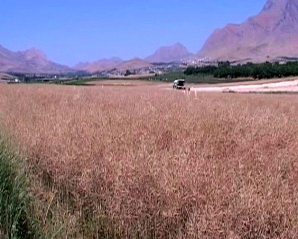 پایان برداشت دانه روغنی کلزا از ۱۰ هکتار مزارع شهرستان فریدونشهر