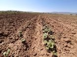 یکصد هکتار از اراضی کشاورزی بویین زهرا به کشت پنبه اختصاص یافت