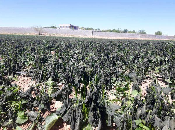 برآورد 488 میلیارد تومانی خسارت سرما به کشاورزی شیراز