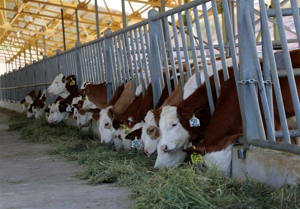 استقبال دامداران از طرح تلقیح گاوهای سمینتال
