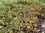 سیلاب ۳۶۰ میلیارد ریال به کشاورزی جنوب استان بوشهر خسارت وارد کرد