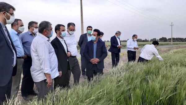 بازدید رئیس سازمان جهاد کشاورزی استان تهران از مزرعه ۶۰ هکتاری در جوادآباد