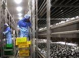 تولید قارچ خوراکی در اصفهان ۵۶ درصد افزایش یافت