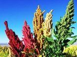 سمنان ظرفیت توسعه گیاه کینوا را دارد