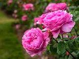 کشت گل محمدی و گیاهان دارویی در پردیس توسعه می یابد