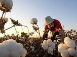 تولید 98 هزار تن پنبه در سال زراعی جاری