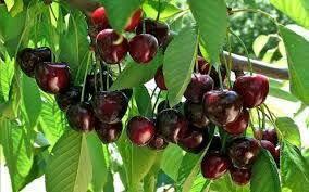 پیشبینی برداشت یک هزارتن محصول گیلاس و آلبالو از باغات شهرستان سامان