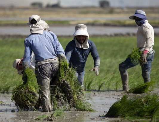 کشاورزان خراسان شمالی تمایلی برای توقف کشت برنج ندارند
